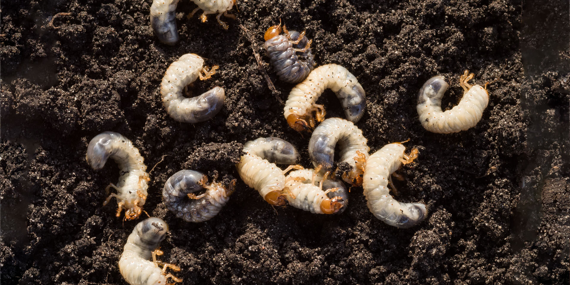 White chafer grub against the background of the soil. Larva of the May beetle. Agricultural pest.